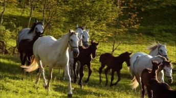 Lipizzaner Foals
