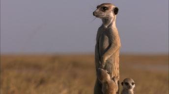 Posturing Meerkat Pups