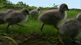 Imprinting Hatchling Geese