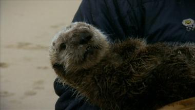 Saving Otter 501 Why Sea Otters Hold Hands Wrap Pups In Seaweed