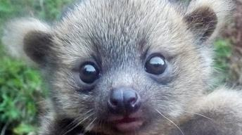 'Crowd-sourced' science sheds new light on olinguito