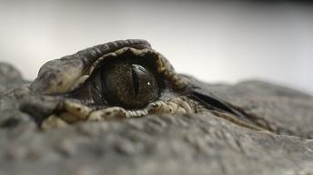 Spinosaurus vs. Alligator