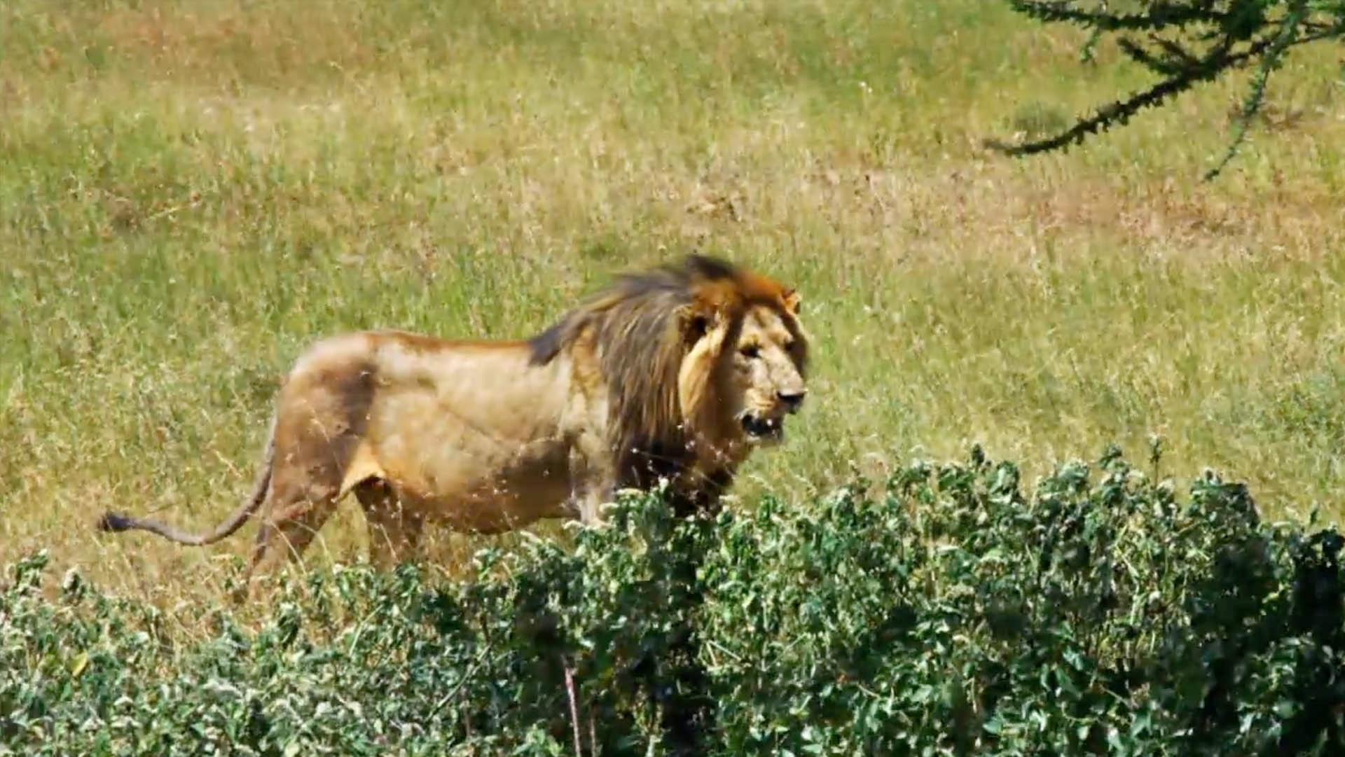 The Serengeti Lion Project