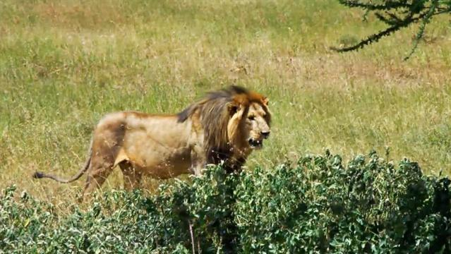 The Serengeti Lion Project