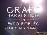 Original Fare   Grape Harvesting in Paso Robles
