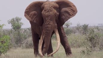 Satao - The Death of a Great Tusker