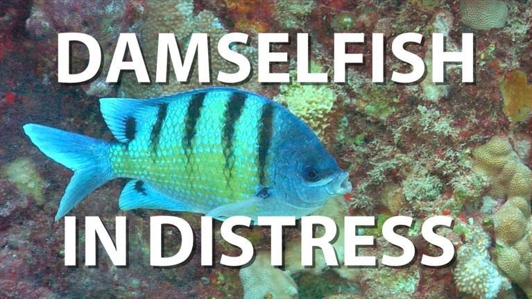 Damselfish in Distress