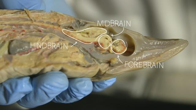 Our Fishy Brain