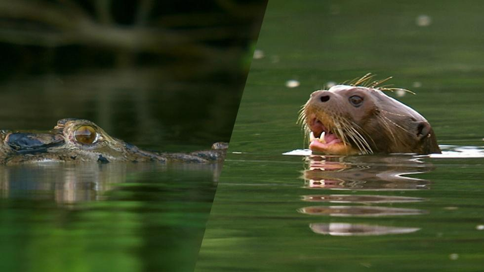 Giant River Otters Defeat Large Black Caiman image