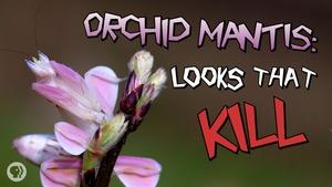 S4 Ep40: Orchid Mantis: Looks That Kill