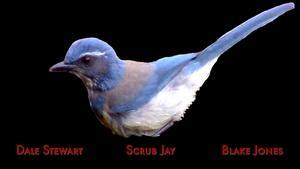 Scrub Jay by Dale Stewart