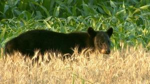 Humans learn to live with bears