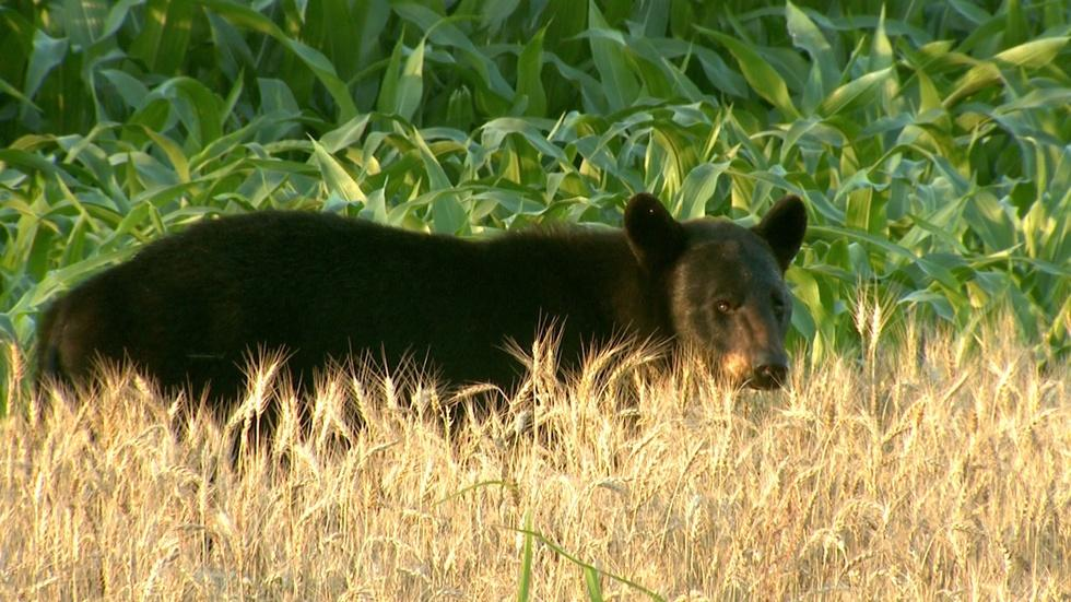 Humans learn to live with bears image