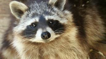 Backyard Farmer:  Corral Raccoons