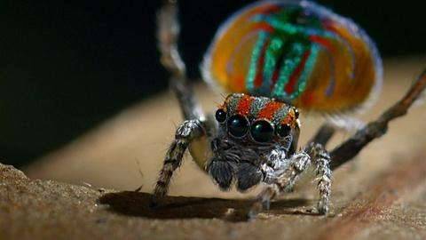 Nature -- S36 Ep6: Peacock Spider Performs Colorful Dance to Attract M