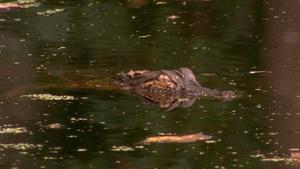 Alligators as Neighbors