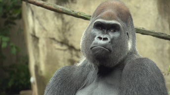 Saving Gorillas (From Cincinnati to the Congo)