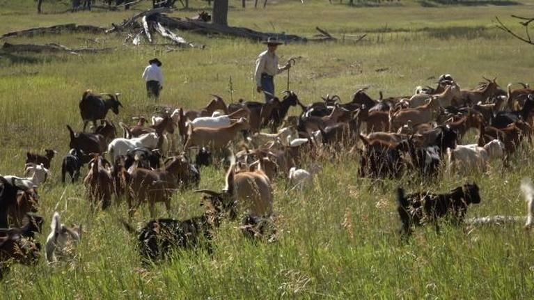 Farm to Fork Wyoming: Goats Eat Weeds