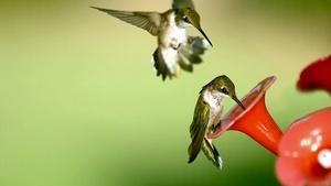Season 2, Ep. 13: Hummingbirds – Life in Fast-forward
