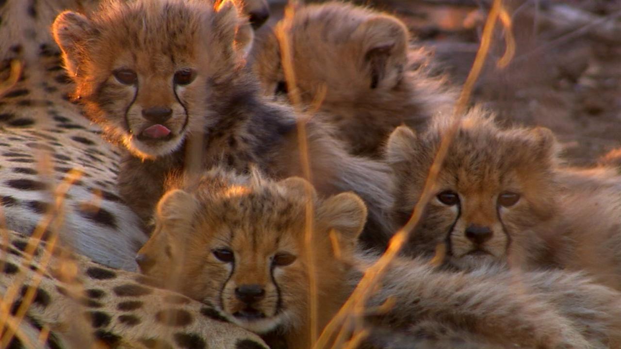 cameraman discovers five baby cheetahs
