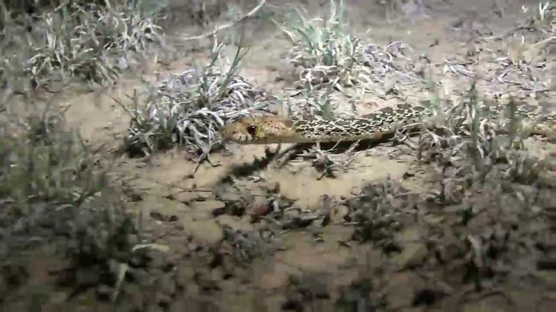 Texas Wild: Bull Snake
