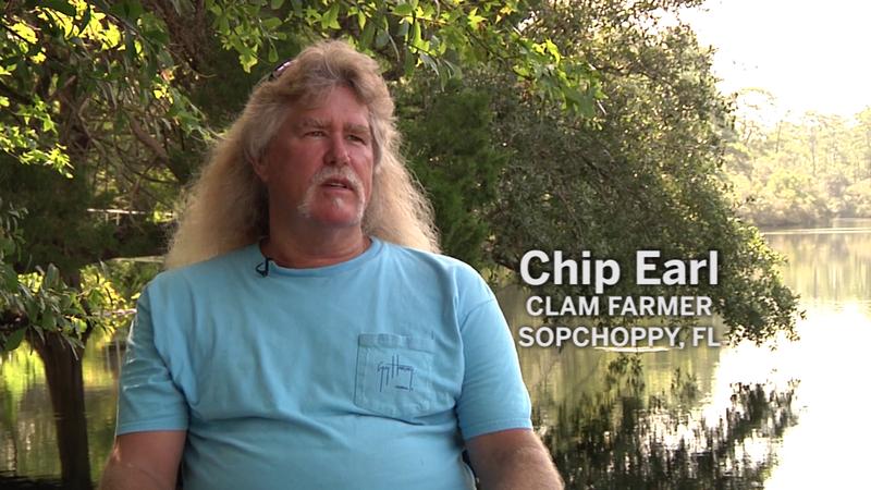 Clam Farming at Alligator Harbor
