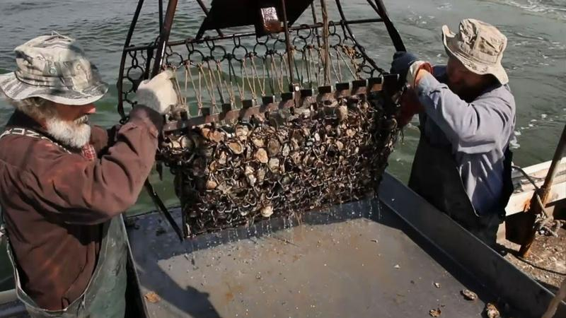 Spat! Bringing Oysters Back to the Chesapeake Bay