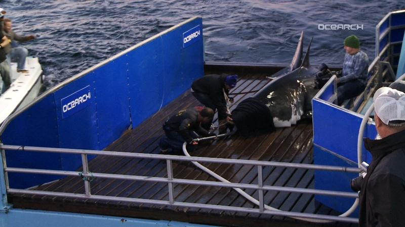 Tracking a Great White Shark Off the Jersey Shore