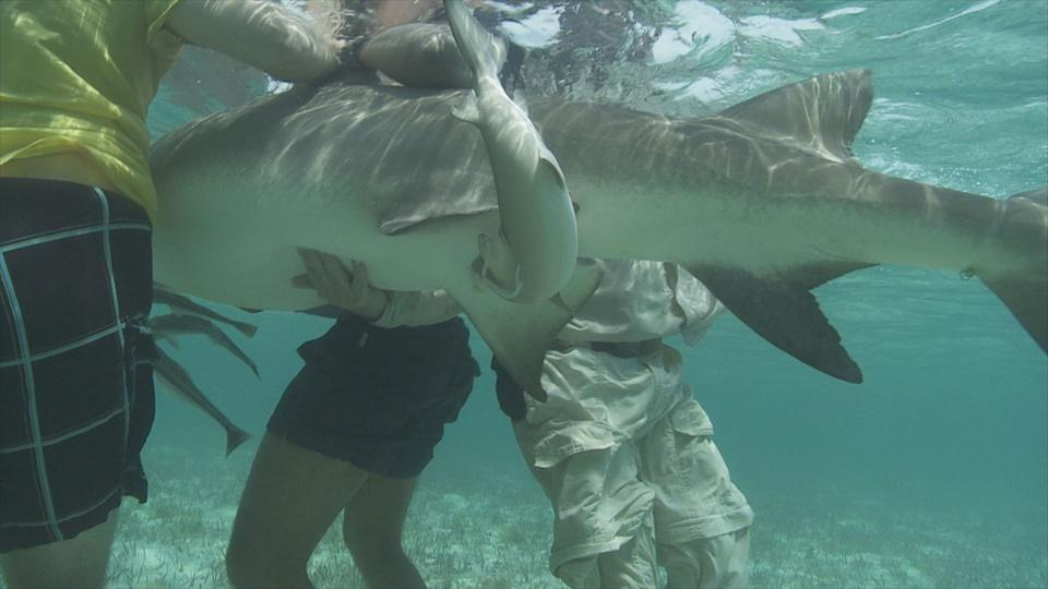 Lemon Shark Birth in Bimini, Bahamas
