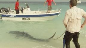 Image of Shark Scientist Richard Fitzpatrick Tags a Tiger Shark