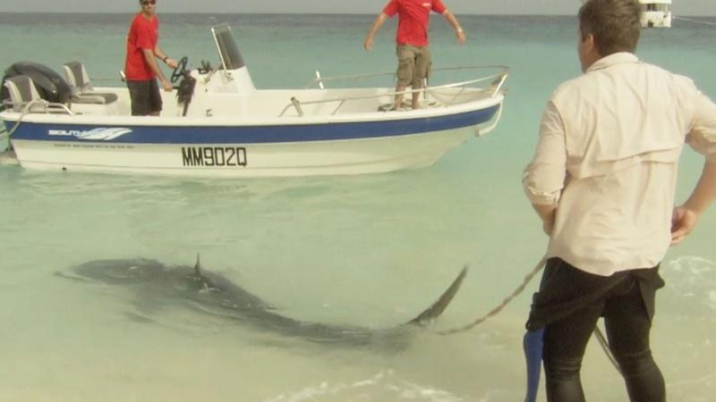 Shark Scientist Richard Fitzpatrick Tags a Tiger Shark