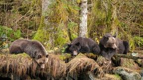 Image of Play the Great Bear Rainforest Quiz