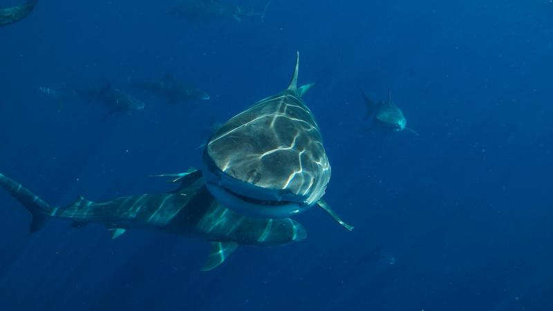 Get Up Close and Personal with Tiger Sharks