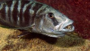 Image of Discover Africa's Freshwater Cichlids