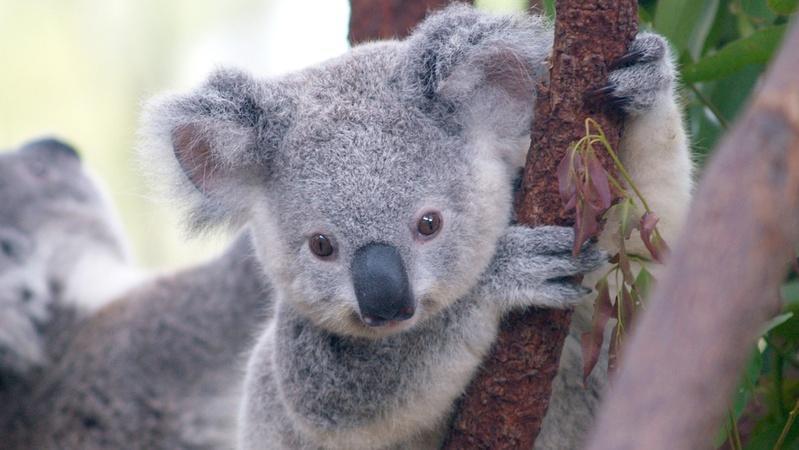 Five Gross Facts About Koalas
