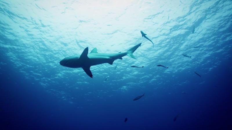 Sharks at Osprey Reef