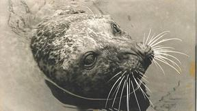 Image of The Seal Who Came Home - Preview