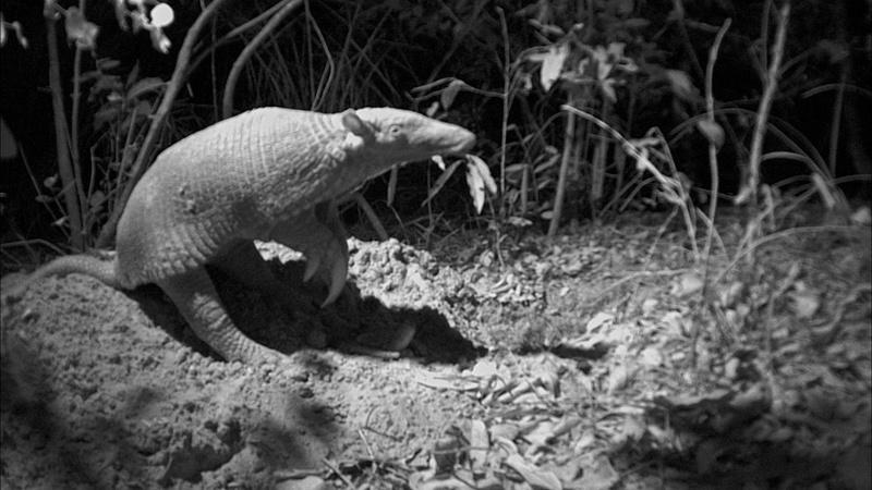 Scientists Capture Rare Footage of Giant Armadillo