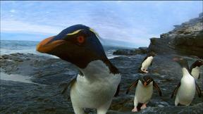 Image of Rockhopper Penguins Make Landfall