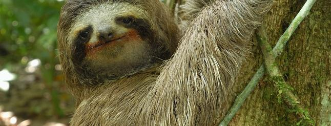 Image of Three-toed Sloth: The Slowest Mammal On Earth