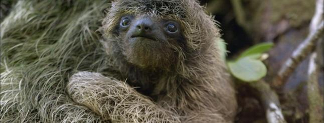 Image of Baby Pygmy Sloth Clings to Mom
