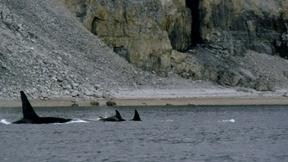 Killer Whales Attack Pod of Narwhal