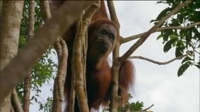 Image of Orangutan Mom Helps Baby Swing Through Tree Tops