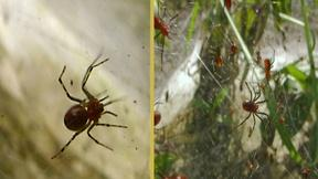 Image of Social Spiders Build Massive Nests