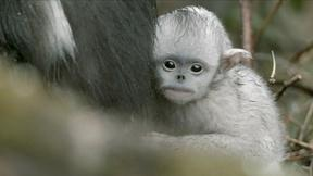 Image of Baby Snub-nosed Monkey Abandoned by Mother