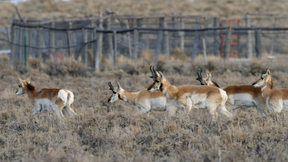 Image of Fences Create Problems for Pronghorn