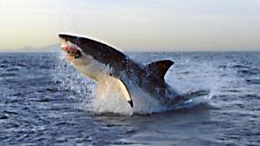 Image of Great White Shark Hunts Fur Seals