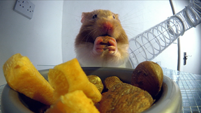 Image of Hamster Hoards Food in Hidden Cheek Pouches