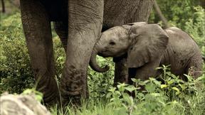 Image of Baby Elephant Explores His World
