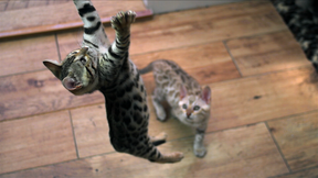 Image of Kittens Practice Hunting Skills